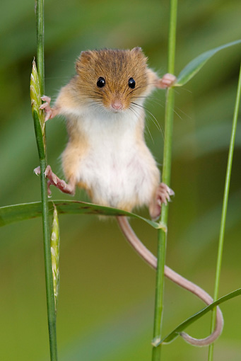 ROD 06 KH0048 01 © Kimball Stock Harvest Mouse Climbing On Blades Of Grass