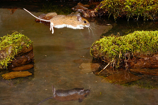 ROD 06 MC0001 01 © Kimball Stock White-Footed Mouse Leaping Over Stream Onto Mossy Rocks Pennsylvania