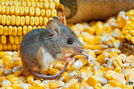 ROD 06 TK0004 01 © Kimball Stock Deer Mouse Sitting On Corn Holding Tail
