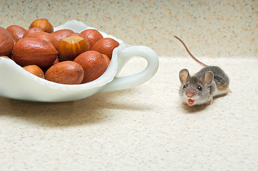 ROD 06 TK0005 01 © Kimball Stock Deer Mouse Crouching By Bowl Of Nuts