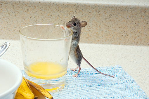 ROD 06 TK0006 01 © Kimball Stock Deer Mouse Standing Peeking Into Glass Of Orange Juice