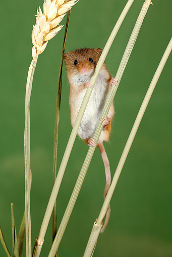 ROD 06 WF0001 01 © Kimball Stock Harvest Mouse Climbing Wheat Stalks