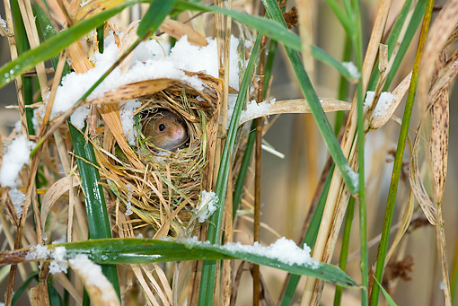 ROD 06 KH0001 01 © Kimball Stock Harvest Mouse Peeking Out Of Nest In Grass And Snow