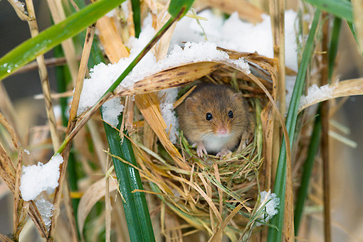 ROD 06 KH0002 01 © Kimball Stock Harvest Mouse Peeking Out Of Nest In Grass And Snow