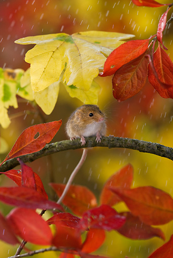 ROD 06 KH0003 01 © Kimball Stock Harvest Mouse Sitting On Branch Under Autumn Leaves In Rain