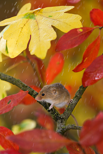 ROD 06 KH0004 01 © Kimball Stock Harvest Mouse Sitting On Branch Under Autumn Leaves In Rain