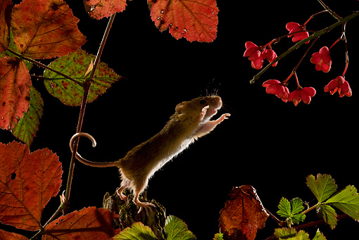 ROD 06 KH0005 01 © Kimball Stock Harvest Mouse Standing On Branch Reaching For Flowers In Foliage