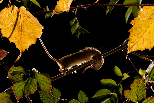 ROD 06 KH0007 01 © Kimball Stock Harvest Mouse Walking On Branch Carrying Baby