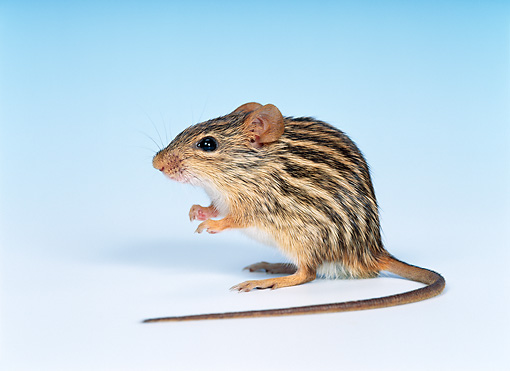 ROD 06 KH0008 01 © Kimball Stock Barbary Striped Grass Mouse Sitting Studio
