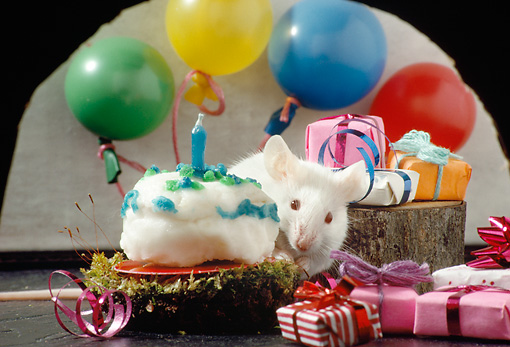 ROD 06 RS0001 01 © Kimball Stock White Mouse Having Birthday Party With Cake Balloons Presents