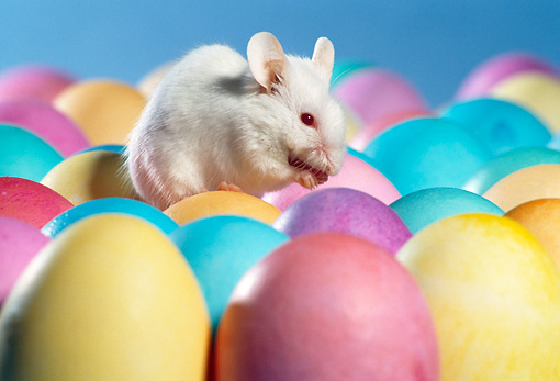 ROD 06 RS0003 01 © Kimball Stock White Mouse Sitting On Easter Eggs
