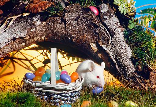 ROD 06 RS0004 01 © Kimball Stock White Mouse Collecting Jelly Beans In Basket (Easter Egg Hunt) On Grass By Tree Trunk