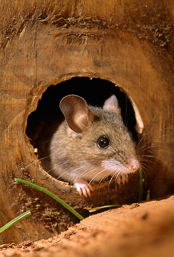 ROD 06 TK0001 01 © Kimball Stock Deer Mouse Sitting In Hole