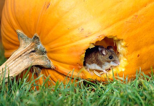 ROD 06 TK0002 01 © Kimball Stock Deer Mouse Sitting In Hole In Pumpkin On Grass