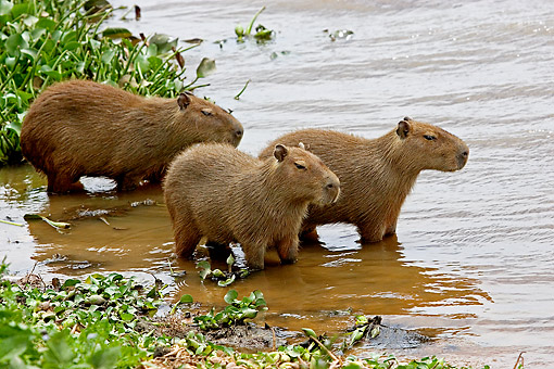 ROD 08 GL0001 01 © Kimball Stock Three Capybaras Standing In Swamp Venezuela