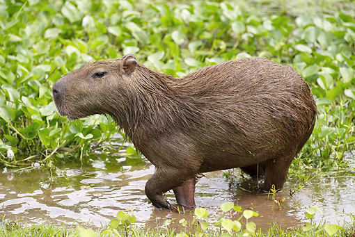 ROD 08 JE0001 01 © Kimball Stock Capybara Walking Through Shallow Water In Los Llanos, Venezuela