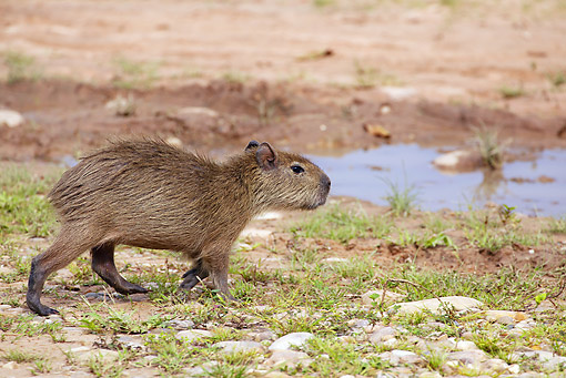 ROD 08 JE0002 01 © Kimball Stock Capybara Walking Toward Water In Los Llanos, Venezuela
