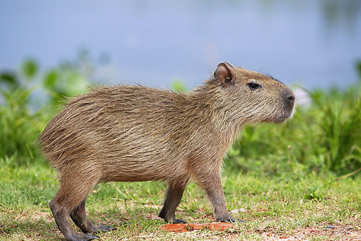 ROD 08 JE0003 01 © Kimball Stock Capybara Walking Through Grass In Los Llanos, Venezuela