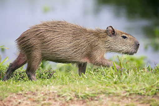 ROD 08 JE0004 01 © Kimball Stock Capybara Walking Through Grass In Los Llanos, Venezuela