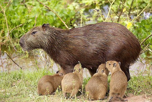 ROD 08 JE0006 01 © Kimball Stock Capybara Mother Nursing Young In Los Llanos, Venezuela