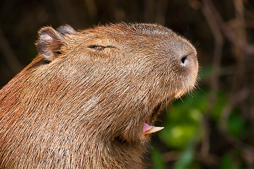 ROD 08 MC0001 01 © Kimball Stock Head Shot Of Capybara Yawning In Jungle Brazil