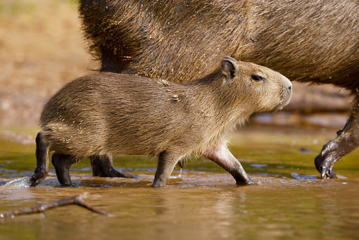 ROD 08 MC0002 01 © Kimball Stock Close-Up Of Capybara Walking Through Shallow Water With Young Brazil