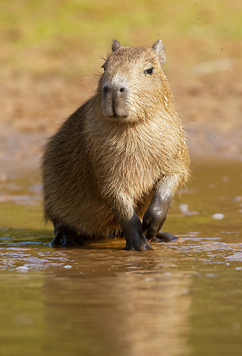 ROD 08 MC0003 01 © Kimball Stock Capybara Standing In Shallow Water Brazil