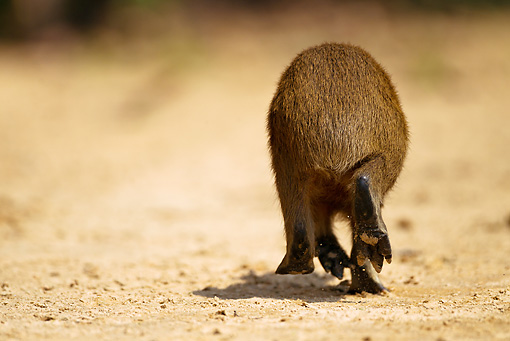 ROD 08 MC0004 01 © Kimball Stock Back View Of Capybara Running On Sand Brazil