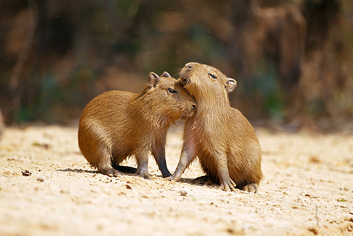 ROD 08 MC0005 01 © Kimball Stock Two Capybaras Nuzzling On Sand Brazil