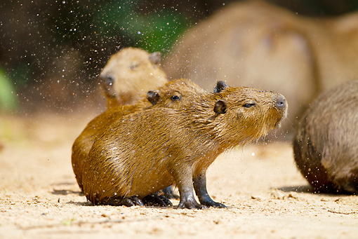 ROD 08 MC0006 01 © Kimball Stock Capybara Shaking Off Sand Brazil