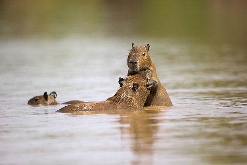 ROD 08 MC0010 01 © Kimball Stock Three Young Capybara Playing In River Pantanal, Brazil
