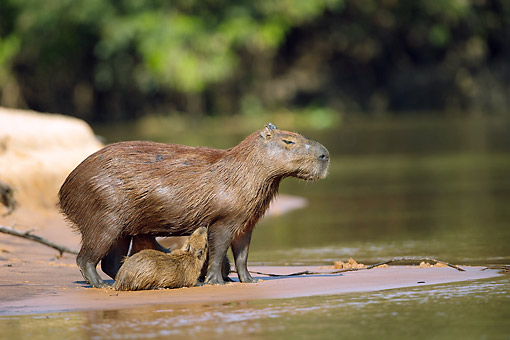 ROD 08 MC0012 01 © Kimball Stock Capybara Mother And Young Standing On Riverbank Pantanal, Brazil