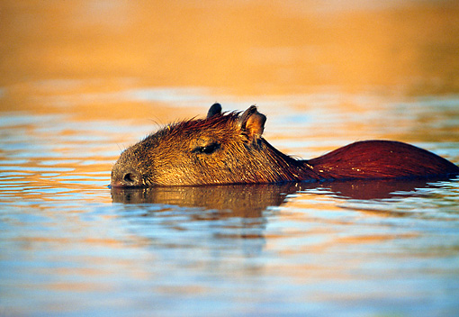ROD 08 WF0002 01 © Kimball Stock Capybara Swimming In Water At Sunset Pantanal, Brazil