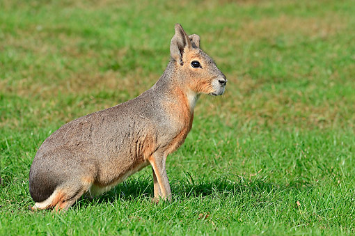 ROD 09 AC0003 01 © Kimball Stock Patagonian Mara Sitting Alertly In Grass