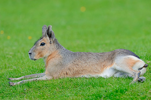 ROD 09 AC0004 01 © Kimball Stock Patagonian Mara Relaxing In Grass