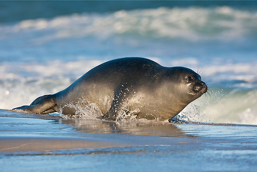 SEA 01 KH0002 01 © Kimball Stock Young Southern Elephant Seal Entering Ocean