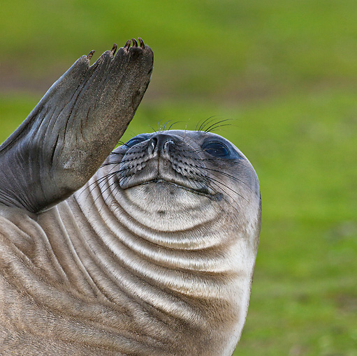 SEA 01 KH0003 01 © Kimball Stock Young Southern Elephant Seal Waving Fin On Grass Falklands