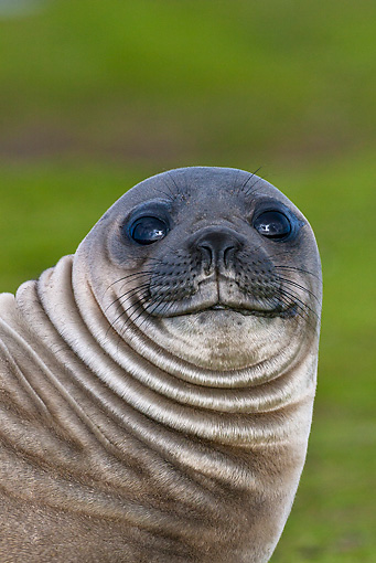 SEA 01 KH0005 01 © Kimball Stock Portrait Of Young Southern Elephant Seal On Grass Falklands