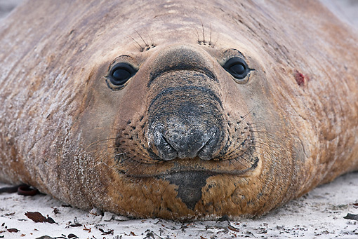 SEA 01 KH0010 01 © Kimball Stock Portrait Of Male Southern Elephant Seal On Beach Falklands