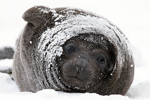 SEA 01 KH0015 01 © Kimball Stock Young Southern Elephant Seal Covered With Snow In South Georgia, Antarctica