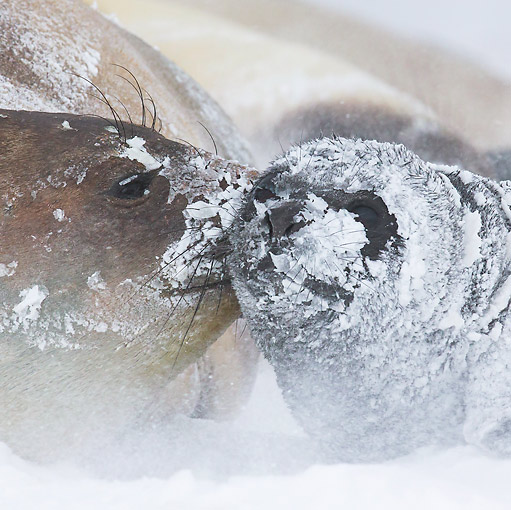 SEA 01 KH0021 01 © Kimball Stock Southern Elephant Seal Nuzzling Young In Snow In South Georgia, Antarctica