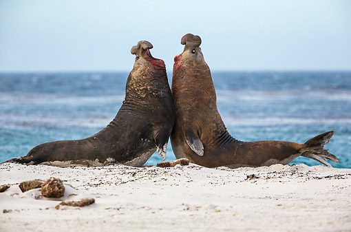 SEA 01 KH0027 01 © Kimball Stock Southern Elephant Seal Males Fighting On Beach In Falkland Islands