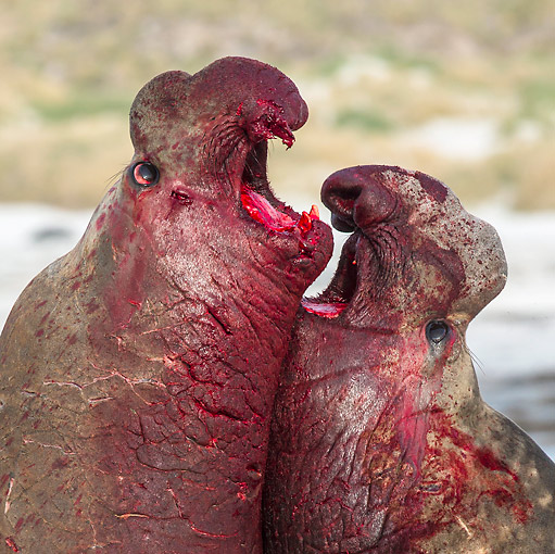 SEA 01 KH0028 01 © Kimball Stock Close-Up Of Fight Between Southern Elephant Seal Males On Beach In Falkland Islands