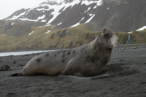 SEA 01 MC0008 01 © Kimball Stock Southern Elephant Seal Male On South Georgia Islands, Anarctica