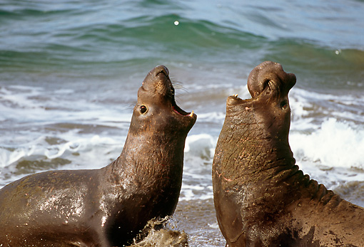 SEA 01 LS0001 01 © Kimball Stock Profile Of Two Northern Elephant Seal Bulls Sparring On Beach