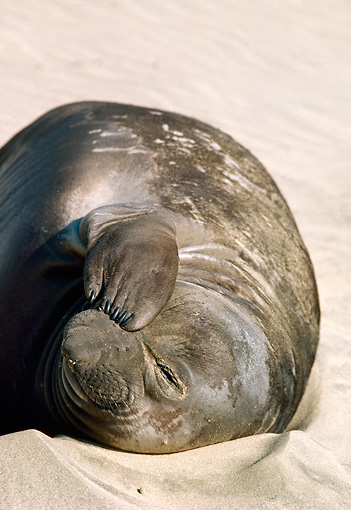 SEA 01 TL0003 01 © Kimball Stock Portrait Of Northern Elephant Seal Pup Laying On Sandy Beach