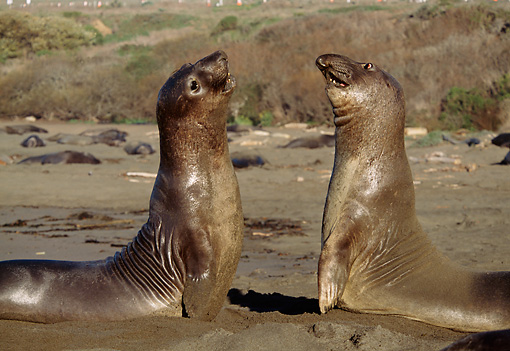 SEA 01 TL0005 01 © Kimball Stock Profile Of Northern Elephant Seal Bulls Sparring On Beach