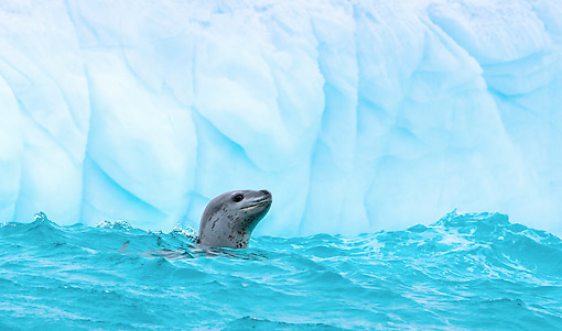 SEA 02 KH0003 01 © Kimball Stock Leopard Seal Swimming In Water In Antarctica