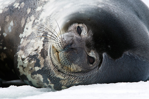 SEA 03 KH0001 01 © Kimball Stock Close-Up Of Weddell Seal Resting On Ice Antarctica