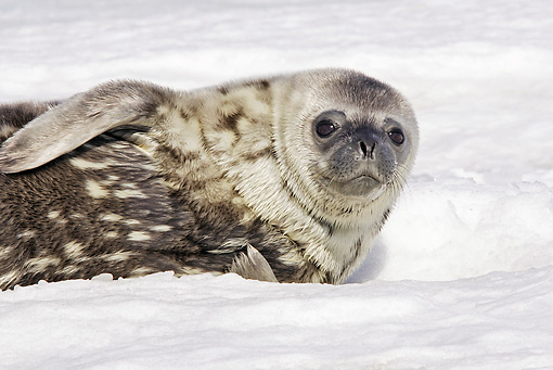 SEA 03 WF0001 01 © Kimball Stock Young Weddell Seal Laying On Pack Ice